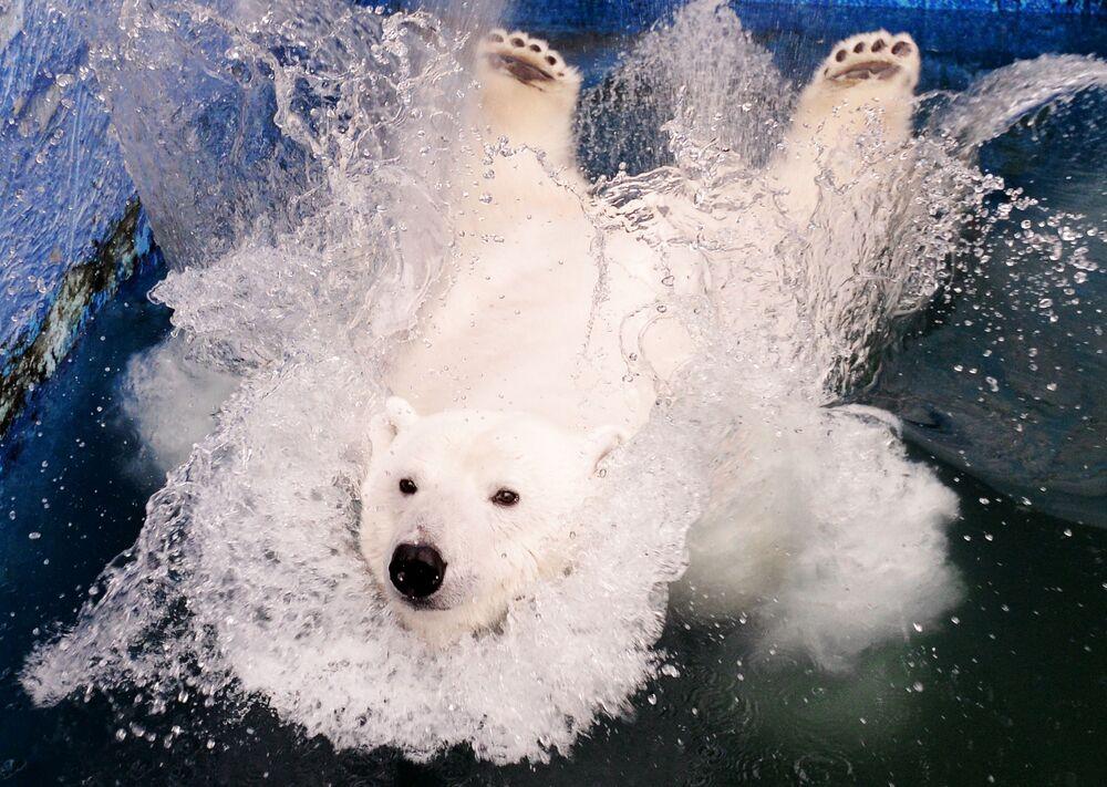 Lední medvěd Uršula v parku Rojev Ručej v Krasnojarsku