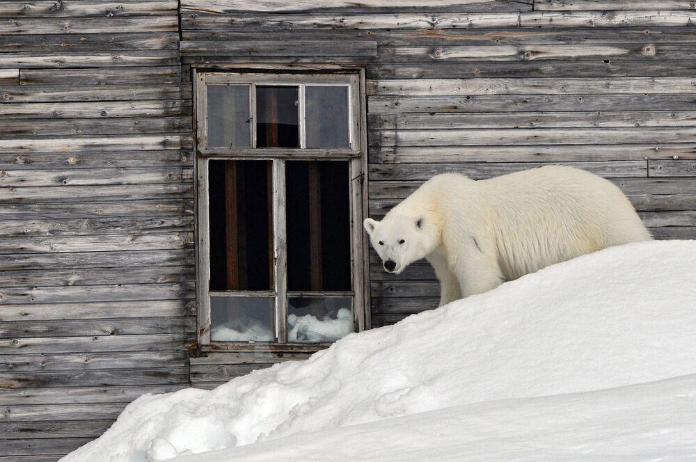 Lední medvěd na území polární stanice na břehu zátoky Tichaja na Hookerově ostrově souostroví Země Fratiška Josefa