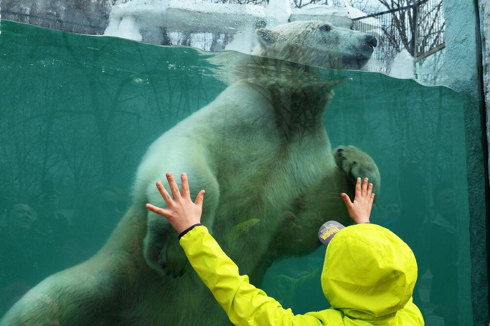 Lední medvěd v Prijamurské zoo Sysojeva v Chabarovsku
