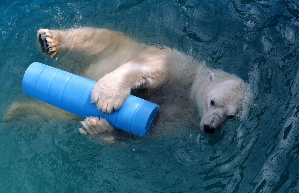 14letý lední medvěd Felix se koupe v bazénu v parku flóry a fauny Rojev Ručej v Krasnojarsku