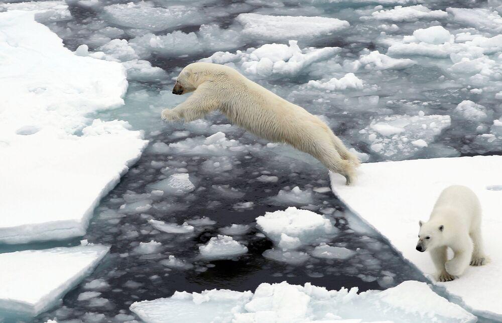 Lední medvědi na ledu v Severním ledovém oceánu