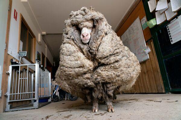 Ovce Baarack před sestřihem v Lancefieldu, Austrálie. - Sputnik Česká republika