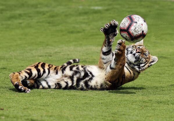 Tygří mládě si hraje s míčem v soukromé zoo v Emirátech - Sputnik Česká republika