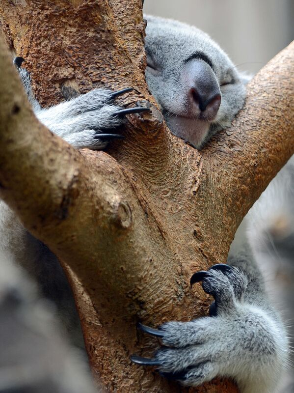 Spící koala v Zoo Duisburg v Německu. - Sputnik Česká republika