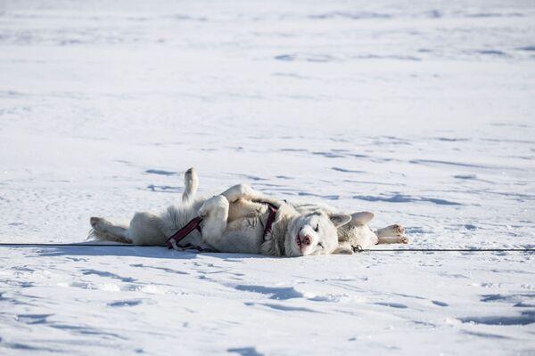Husky spící na sněhu. - Sputnik Česká republika