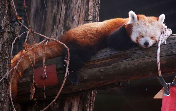 Panda červená spí na kládě ve výběhu v Moskevské zoologické zahradě. - Sputnik Česká republika
