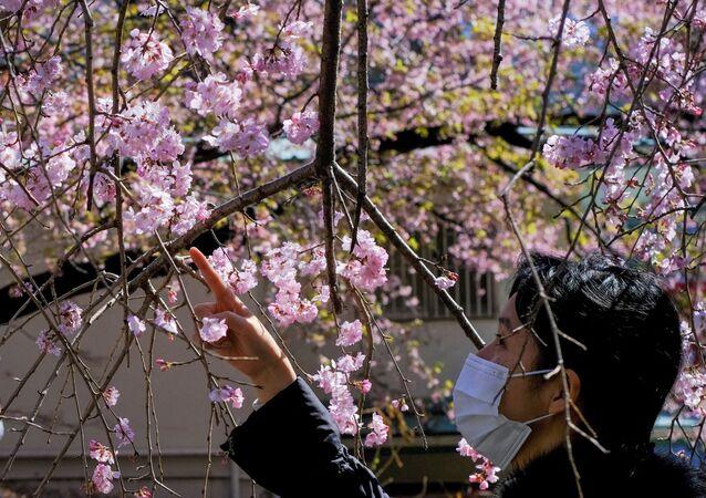Pomíjivá krása. V Japonsku kvetou první sakury, ne každý ji však může obdivovat