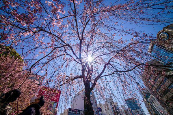 Lidé v Tokiu obdivují květy sakury. - Sputnik Česká republika