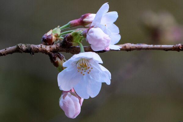 Kvetoucí sakura v Tokiu. - Sputnik Česká republika