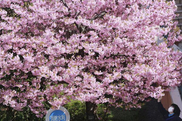 Žena obdivuje kvetoucí třešně v Tokiu. - Sputnik Česká republika
