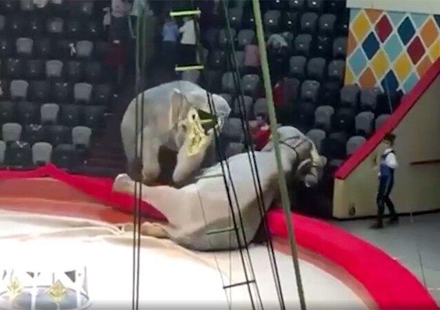 Dvě samice slona indického rozpoutaly konflikt během představení v ruském cirkusu
