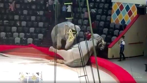 Dvě samice slona indického rozpoutaly konflikt během představení v ruském cirkusu - Sputnik Česká republika
