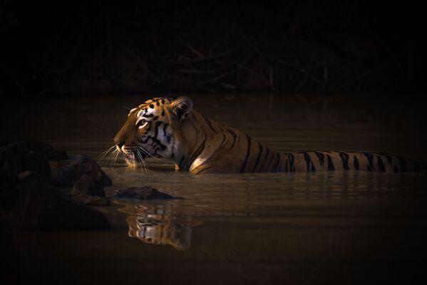 Snímek Bengal tiger with catchlight in water hole britského fotografa Nicka Daleho. Vítěz v kategorii Portréty zvířat soutěže World Nature Photography Awards 2020. - Sputnik Česká republika
