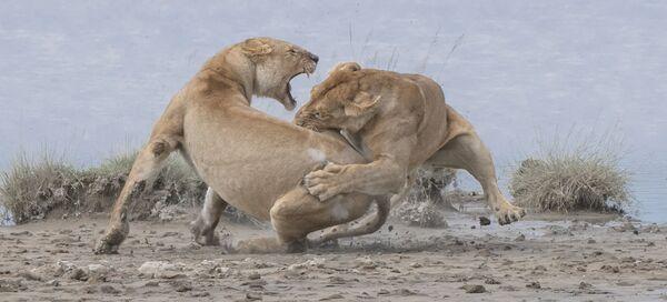 Snímek Lions amerického fotografa Patricka Nowotného. Vítěz v kategorii Chování - savci soutěže World Nature Photography Awards 2020. - Sputnik Česká republika