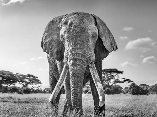 Snímek Ulysses, one of the last remaining great tuskers britského fotografa Harryho Skeggse. Vítěz v kategorii Černá a bílá soutěže World Nature Photography Awards 2020. - Sputnik Česká republika