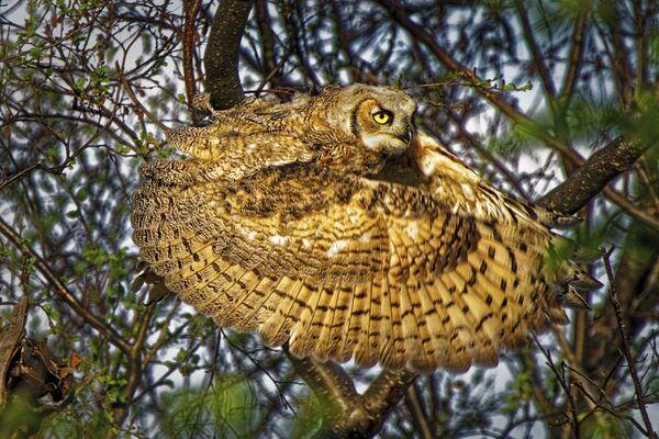 Snímek Great horned owl kanadského fotografa Daleho Paula. Vítěz v kategorii Chování - ptáci soutěže World Nature Photography Awards 2020. - Sputnik Česká republika