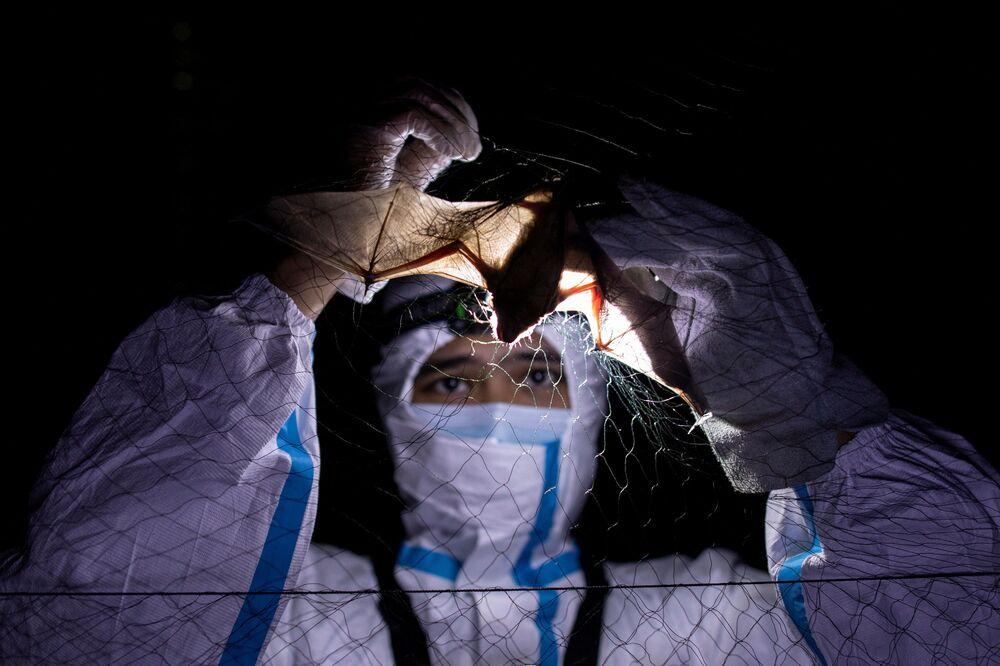Ekolog na Filipínské univerzitě Los Banyos se snaží vysvobodit netopýra ze sítě.