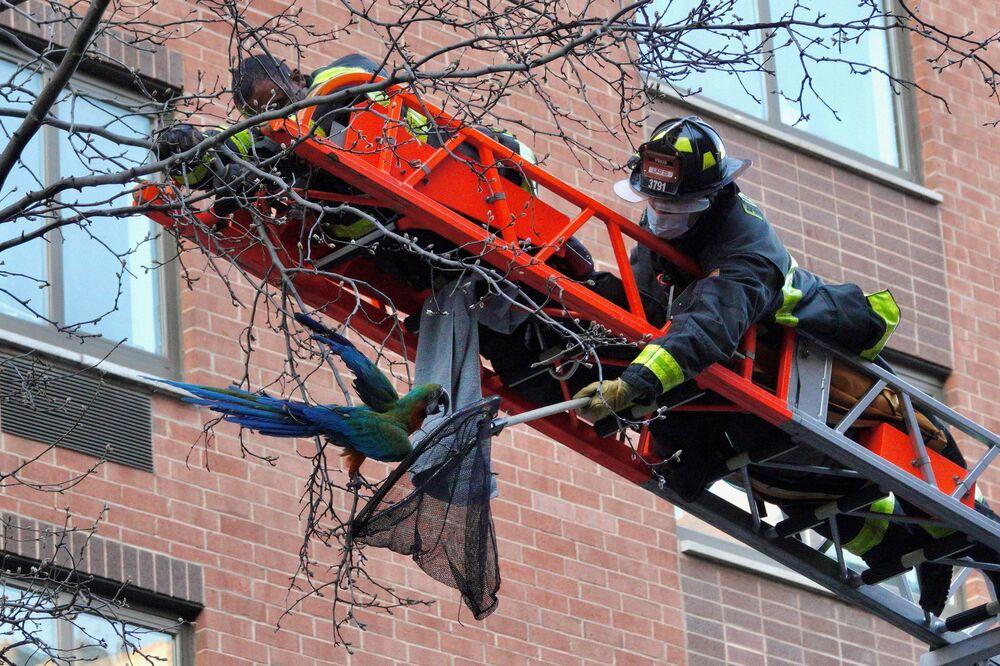 Newyorští hasiči zachraňují papouška ze stromu v okolí Manhattanu v New Yorku.