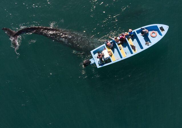 Pohled z výšky na velrybu šedou, která připlula k malému člunu v Mexiku.