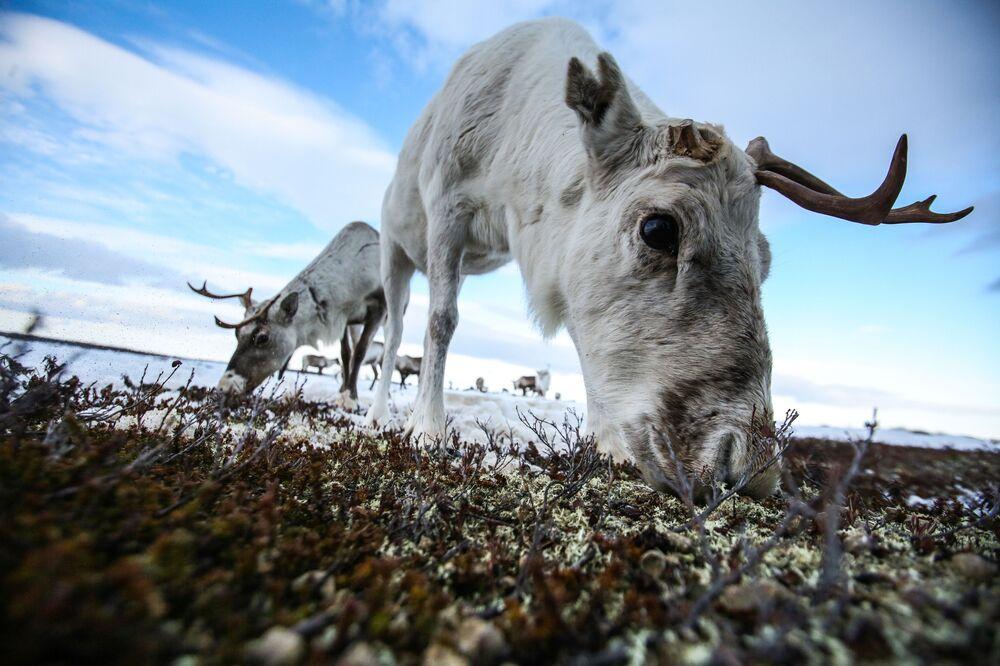 Sob polární v Murmanské oblasti, Rusko