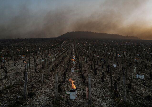 Kvůli silným mrazům zapálili místní farmáři více než 2 000 speciálních svíček – sudů naplněných hořícím parafínem, aby réva nezmrzla