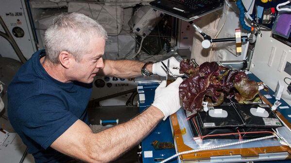 Astronaut NASA Steve Swanson sklízí úrodu salátu, který vypěstoval na palubě Mezinárodní vesmírné stanice.  - Sputnik Česká republika