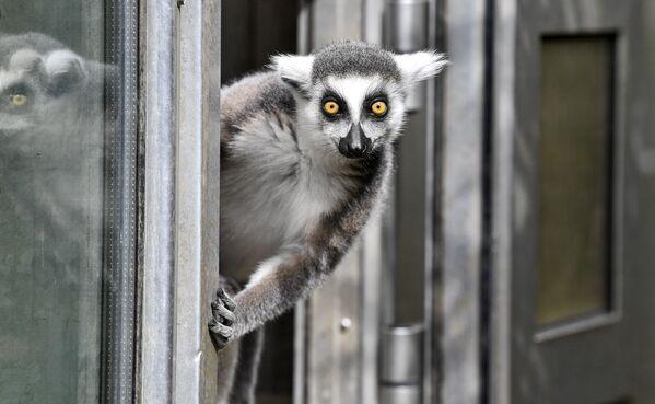 Lemur v německé zoo.  - Sputnik Česká republika