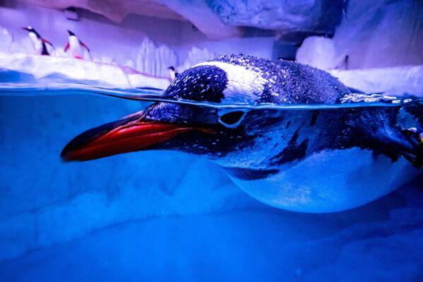 Tučňák plave ve svém výběhu v akváriu, Bangkok Ocean World v Bangkoku - Sputnik Česká republika