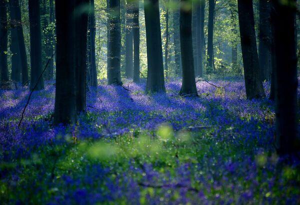 Divoké zvonky (rod hyacintů) během kvetení v belgickém lese - Sputnik Česká republika