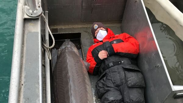 Самка озерного осетра весом 240 фунтов, пойманная в Детройте - Sputnik Česká republika