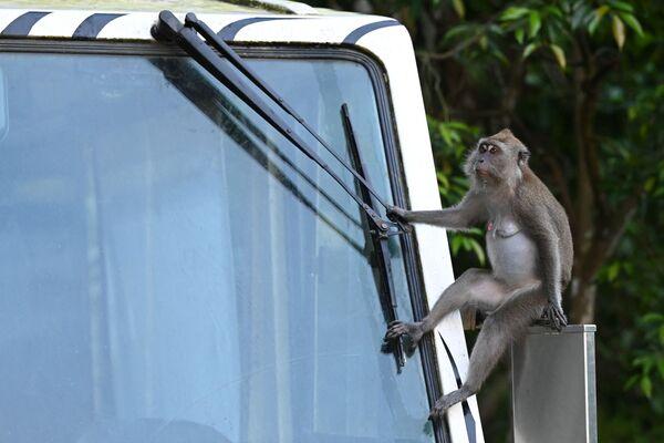Divoký makak sedí na bočním zrcátku tramvaje v Singapuru. - Sputnik Česká republika