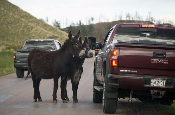Pár oslů poblíž auta. Custer, Jižní Dakota, USA. - Sputnik Česká republika