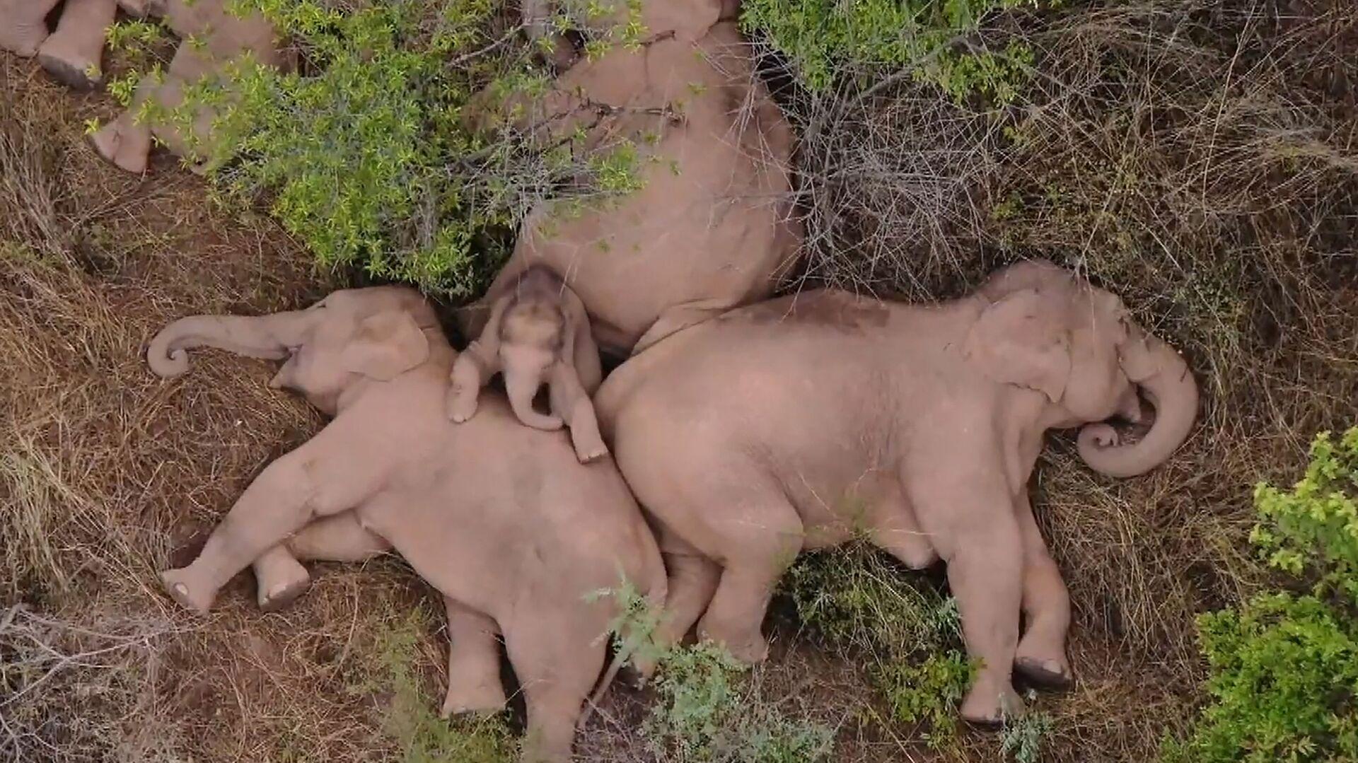 V Číně se stádo slonů po 15 měsících putování zastavilo k odpočinku - Sputnik Česká republika, 1920, 08.06.2021