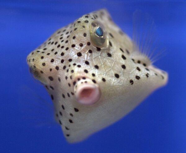 Havýš čtyřhranný, mořská ryba z Tichého oceánu. - Sputnik Česká republika