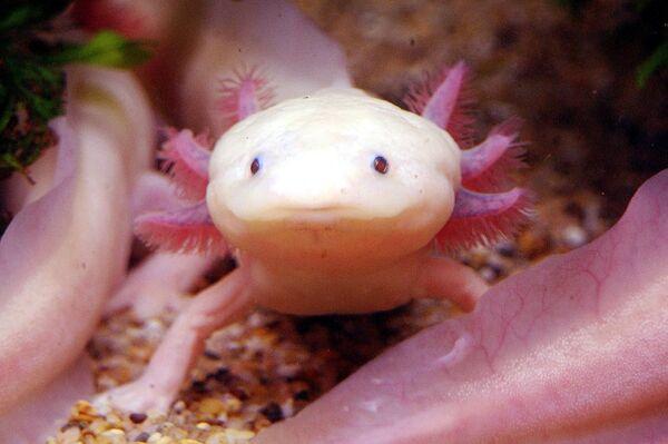 Axolotl mexický. Obojživelník vyskytující se v mexických jezerech. - Sputnik Česká republika
