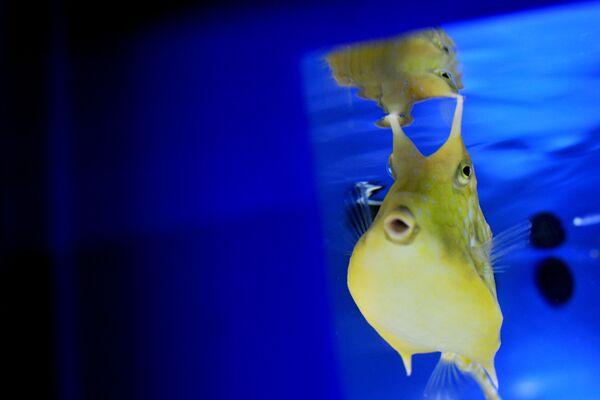 Exotická ryba obývající Středozemní moře a řeky Itálie. - Sputnik Česká republika