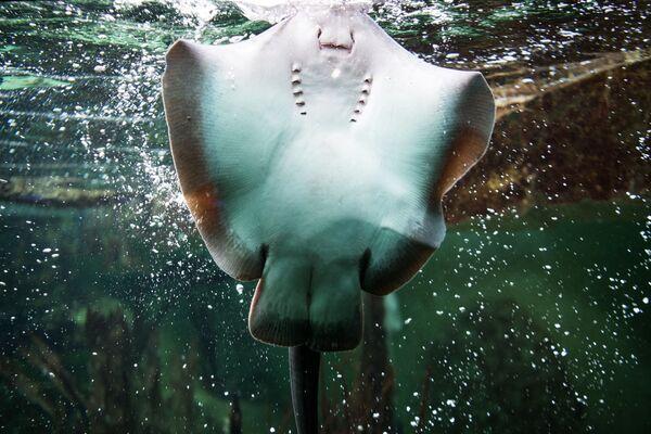 Rejnok Manta plave v bazénu Velkého akvária v Saint-Malo v západní Francii. - Sputnik Česká republika
