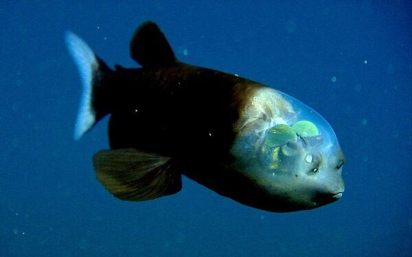 Strašík maloústý (Macropinna microstoma), ryba vyskytující se v severní části Tichého oceánu. - Sputnik Česká republika