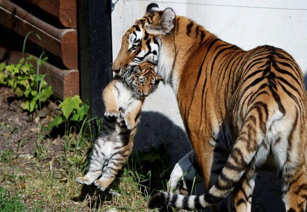 Samice tygra amurského s novorozeným mládětem v zoologické zahradě v Polsku - Sputnik Česká republika