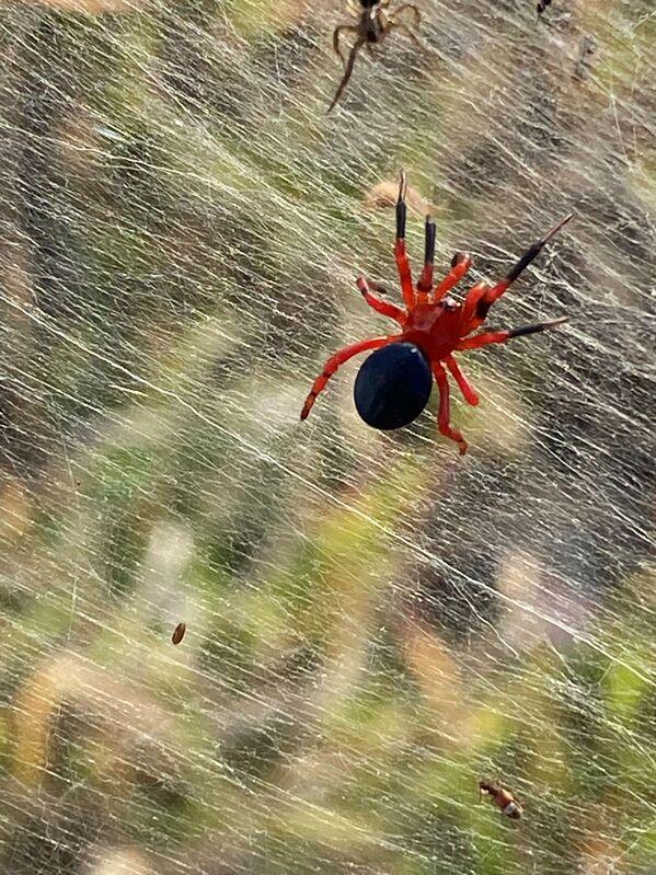 Rudý pavouk na pavučině. - Sputnik Česká republika