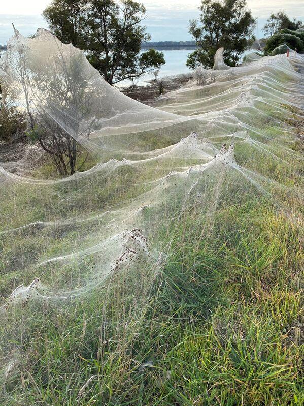 """""""To, že se síť neprotrhla, znamená, že pavouci při vytváření  té neuvěřitelné umělecké krajinné instalace nějak spolupracovali,"""" poznamenala Crossleyová. - Sputnik Česká republika"""