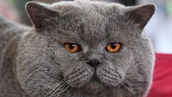 Кошка породы британская на выставке КоШарики-Шоу в Москве - Sputnik Česká republika