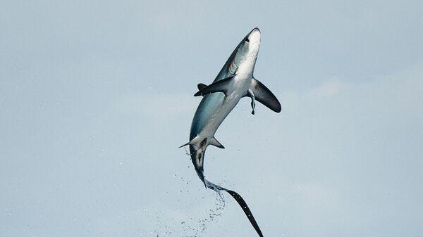 Прыжок лисьей акулы у побережья Коста-Рики - Sputnik Česká republika