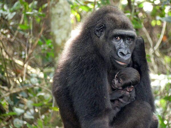 Gorila se svým mládětem. Gabon. - Sputnik Česká republika