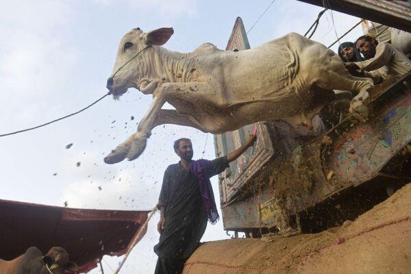 Obchodníci na dobytčím trhu pouští krávu z nákladního vozu kvůli oslavám muslimského festivalu Eid al-Adha v Karáčí. Dne 6. července 2021. - Sputnik Česká republika
