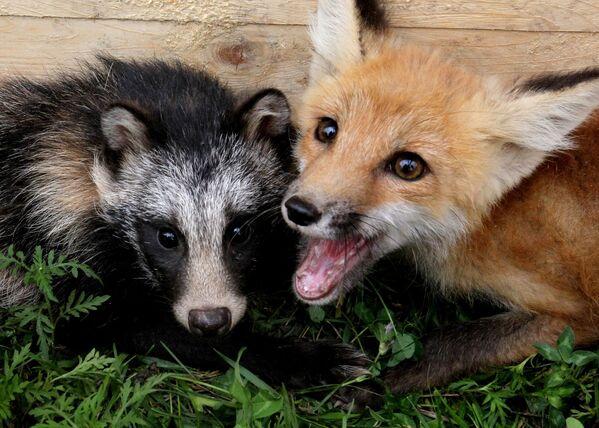 Tady máme zachycenou nerozlučnou dvojici: lišku Robin a psíka mývalovitého. - Sputnik Česká republika