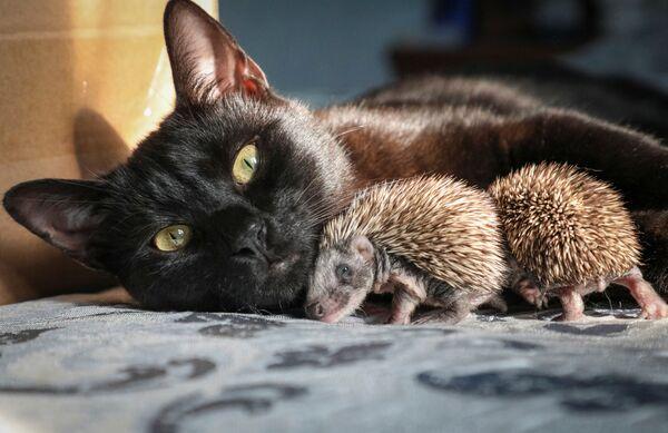 A tady kočka Jáša z Krymu našla na dvorku sedm opuštěných ježků, které si vzala pod své křídlo. - Sputnik Česká republika