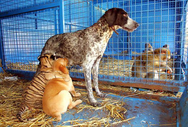 A tady máme adoptivní matku v podobě fenky, která krmí malého tygra. Mládě tygra odmítla jeho máma a tak se jej ujala fenka, která se o něj stará jako o vlastní štěňata. - Sputnik Česká republika