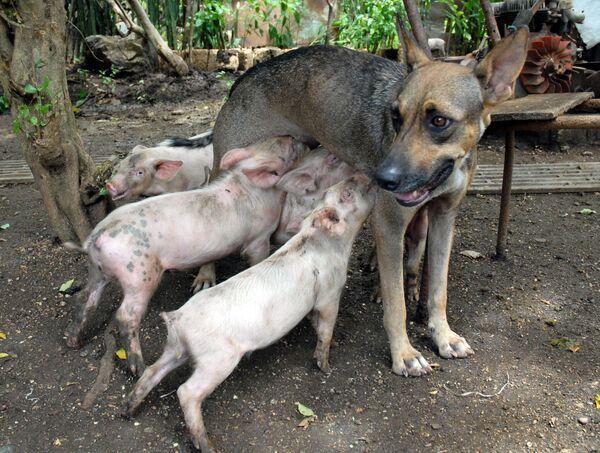 A tady fenka Yety na Kubě krmí čtyři prasátka. - Sputnik Česká republika