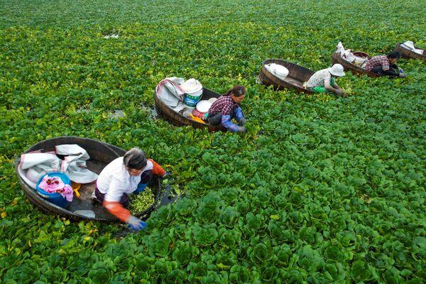Farmáři sbírají kaštany v prefektuře Tchaj-čou v provincii Ťiang-su, Čína. - Sputnik Česká republika